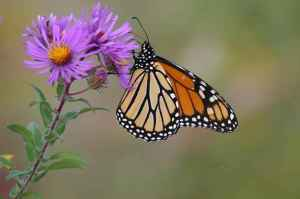 monarch-butterfly-on-new-england-aster
